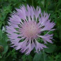 Лесной цветочек :: Анатолий