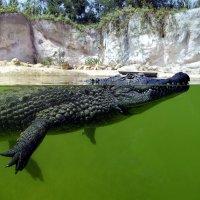 Спкойный крокодил :: Светлана marokkanka