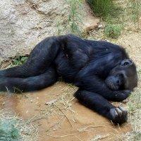 Я спящий обезьян :: Светлана marokkanka