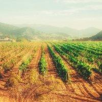 Рассвет над виноградниками :: Солнечная Лисичка =Дашка Скугарева