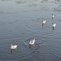 Плывут чайки... :: Александр Андрианов