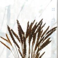 Пшеница, колоски :: Сергей Черепанов