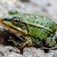 зелёный лягушенок :: Андрей Иванов