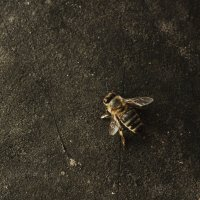 Пчела :: Руслан