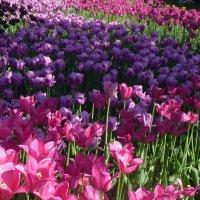 тюльпаны :: Лариса Корженевская