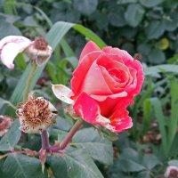 квіточка :: МищЪя Бульбо