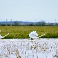 Лебеди :: Андрей Мохов