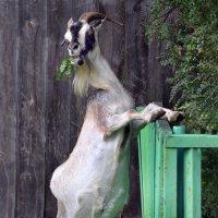 коза :: Николай Пушилин