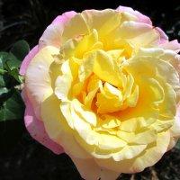 Утренняя роза... :: Тамара (st.tamara)