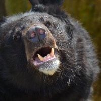 Медведь :: Bespalevniy
