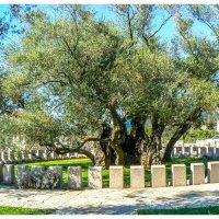 самая старая маслина :: Сергей Цветков