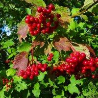 Покраснели листья калины.. :: Антонина Гугаева
