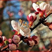 Прекрасное цветение :: Лидия (naum.lidiya)