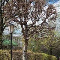 Дерево и фонарь. :: Мария Орлова