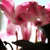 цветет розовым #2 :: CAC 88
