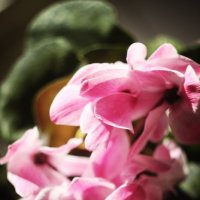 цветет розовым :: CAC 88