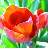 Красный тюльпан :: Лариса Шмидт