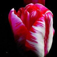 Розово-белый тюльпан :: Лариса Шмидт