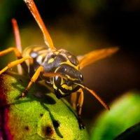 Все осы как осы, а я красавица :: Евгений Солдатов