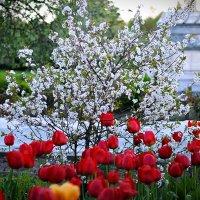 Цветение вишни :: Георгий Димухаметов