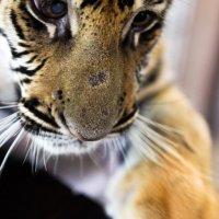 Маленькая тигра. Чианг Май. Таиланд. :: Eva Langue