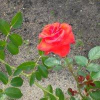 Роза :: Vika Kleinos