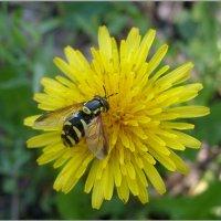 Пчелка Майя :: Dr. Olver