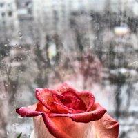 Сияние розы :: Эдуард Аверьянов
