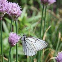 Бабочка в Сибири :: Петелин Андрей
