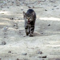 Почти тигр :: Эдуард Аверьянов