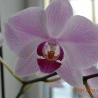 орхидея :: Настя Малышенко