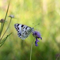 Бабочка :: Андрей Васильевич Гармажапов