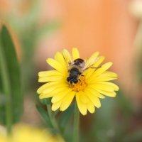 Пчела :: Андрей Васильевич Гармажапов