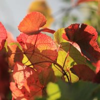 Виноградные листья :: Владимир Немцев