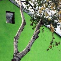 Желтеющая берёза на фоне зелёной стены :: Владимир Немцев