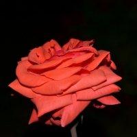 роза :: Татьяна Атнашевва