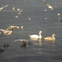 Лебеди в Севастополе, 1 января 2013 г. :: Татьяна Гайдукова