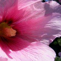 Внутри розовой мальвы :: Александр Скамо