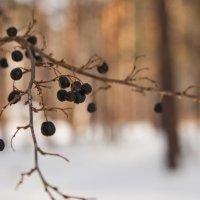 Зимняя ягода :: Igor Epikhin