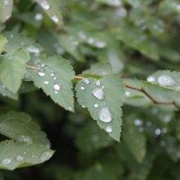 капли дождя :: наталья якушева