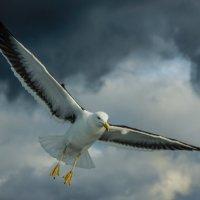 чайка :: Степан Протченко