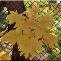 Букет кленовых листьев :: Ирина Таболина