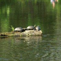 Черепахи. :: Yuri Chudnovetz