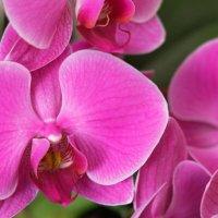Орхидеи :: Olga Lumi