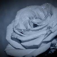 Роза :: Инна Здорникова