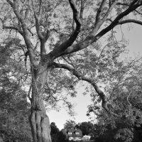 tree :: inna mac