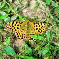 бабочка :: Эдуард Аверьянов