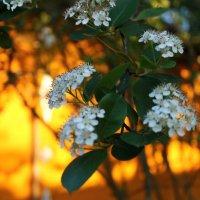 В цвету :: Мария Юртаева