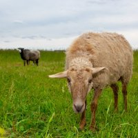 овца :: Иван Носов