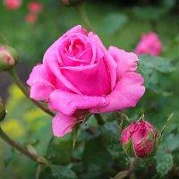 Розовая роза :: Ирина Рассветная